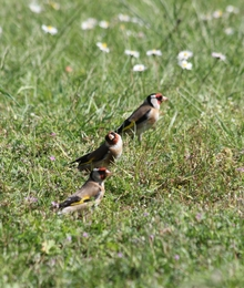 curious gold finches in back garden